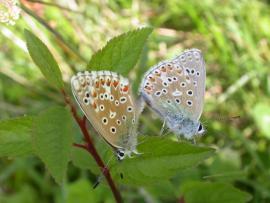 Couple d'argus bleu celeste - © S. Declercq