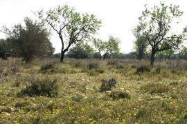 Coussoul à amandier de la Poitevine - © CEEP