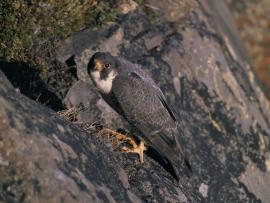 Faucon pélerin - © USFWS / Wikipedia