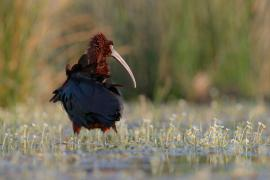 Ibis falcinelle - © S. Baudouin / SMCG